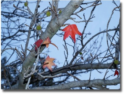 Single lone leaf on deciduous Melbourne tree compliments of http://www.flickr.com/photos/bluebec/3620528855/