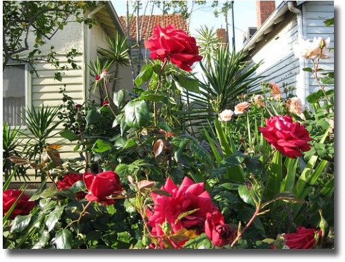 Spring Roses in Melbourne Australia compliments of http://www.flickr.com/photos/lkell/4082063188/