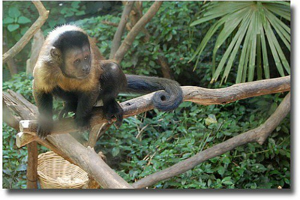 Melbourne Zoo black capped Capuchin compliments of  http://www.flickr.com/photos/carljoseph/4258449664/