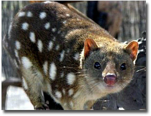 The Endangered Australian Spotted Quoll