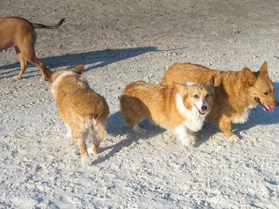 Rusty, Shiloh and Sampson love Dog Beach!