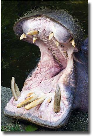 Hippopatamus with mouth open Werribee Zoo Melbourne Australia