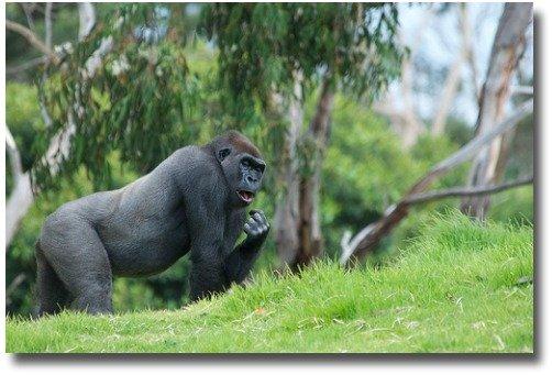 Lowland Gorilla At The Werribeee Zoo - Melbournne - Australia  compliments of https://www.flickr.com/photos/rantz/6707218661/