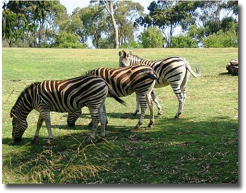 Zebras Grazing On The Open Plains At Werribee compliments of http://www.flickr.com/photos/ssandars/3142045/