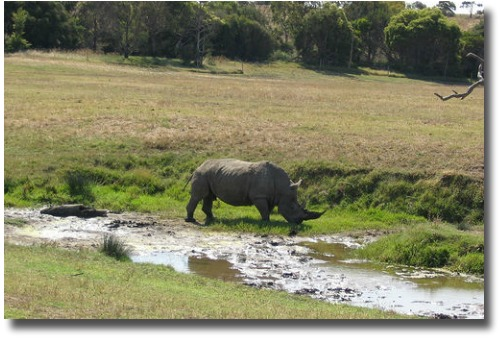 Rhino Grazing The Werribee Open Range Plains  compliments of http://www.flickr.com/photos/ssandars/3142011/