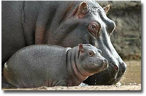 Hippopotamus And Baby At The Werribee Zoo
