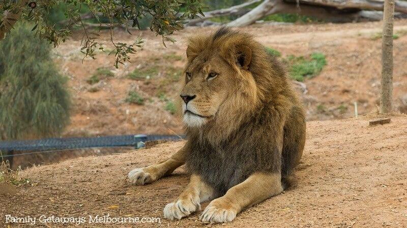 Melbourne zoo lion